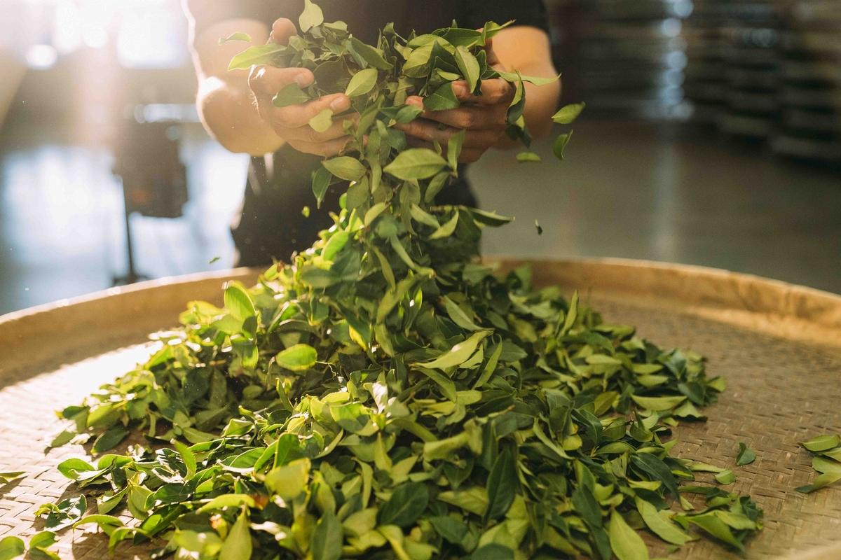 便利超商就能喝到高質感好茶!造訪「璞韻」南投茶廠 體驗在地製茶工藝