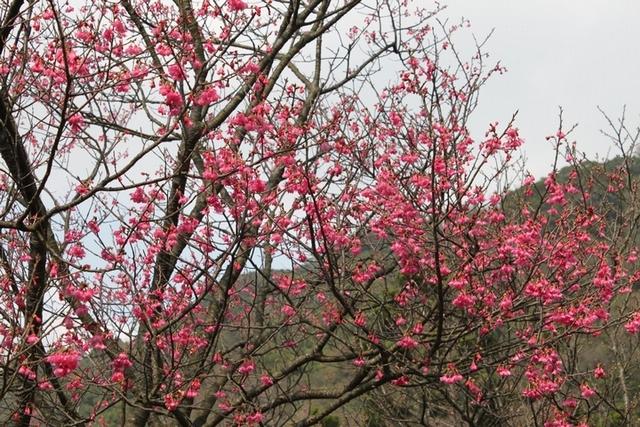 1.北部景點:陽明山國家公園 (櫻花:2~3月/海芋:3~5月)