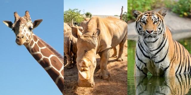 線上逛「動物園」看白犀牛、孟加拉虎、長頸鹿賣萌!加碼近距離動物吃播秀太療癒